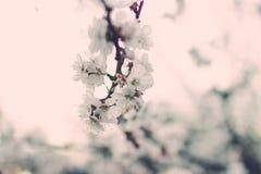 Чувствительная белая весна цветет на абрикосе на солнечный день Стоковые Фотографии RF
