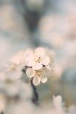 Чувствительная белая весна цветет на абрикосе на солнечный день Стоковые Изображения
