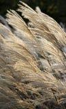 Чувствительная декоративная сухая трава в солнечном свете. Стоковое Изображение