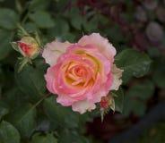 Чувствительная розовая приемная сетка Стоковые Фотографии RF