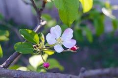Чувствительная яблоня цветка с бутонами на ветви среди листьев Конец-вверх Стоковое Изображение RF