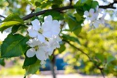 Чувствительная яблоня цветка с бутонами на ветви среди листьев Стоковые Изображения RF