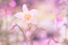 Чувствительное aquilegia на розовой предпосылке Мягко gentle изображение Стоковая Фотография