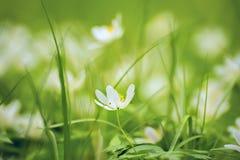 Чувствительные белые цветки ветреницы Стоковые Изображения RF