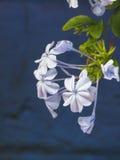 Чувствительные белые цветки падая с голубой предпосылкой Стоковое Фото