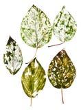 Чувствительные высушенные лист с сериями детального venation Стоковое Изображение RF