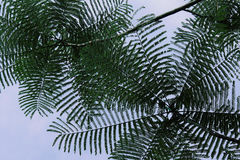 Чувствительные листья тропического дерева против неба Стоковая Фотография RF