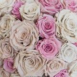 чувствительные розы стоковая фотография
