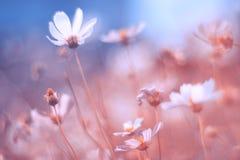 Чувствительные цветки космоса с красивыми пастельными тонами Художническое изображение Очень селективный и мягкий фокус стоковая фотография rf