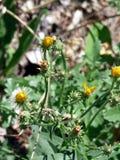 чувствительные цветки Стоковая Фотография RF