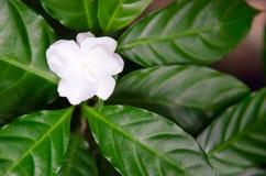 Чувствительный жасмин цветет с лист в саде Стоковые Фотографии RF