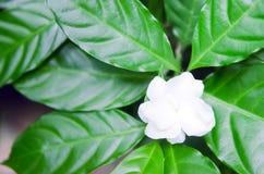 Чувствительный жасмин цветет с лист в саде Стоковые Изображения