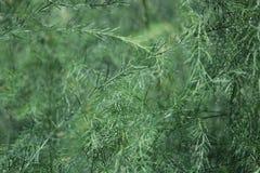 Чувствительный зеленый конец-вверх спаржи Стоковая Фотография RF