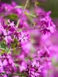Чувствительный пинк цветет предпосылка Стоковые Фото