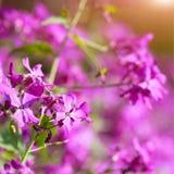 Чувствительный пинк цветет предпосылка Стоковое Изображение
