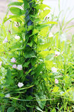 Чувствительный пинк цветет arvensis повилики вьюнка на яркие ые-зелен штанги загородки Стоковая Фотография RF