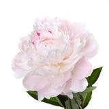 Чувствительный побледнейте - розовый пион Стоковая Фотография RF