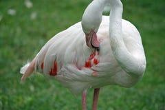 Чувствительный розовый фламинго пока вы царапаете посреди пера Стоковое фото RF