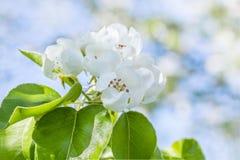 Чувствительный сад груши цветка весной, макрос стоковые фотографии rf