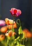 Чувствительный цветок мака Стоковая Фотография RF