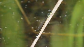 Чувствительный dragonfly Стоковая Фотография