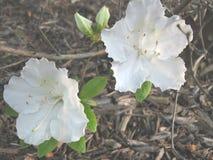 2 чувствительных белых цветка Стоковые Фотографии RF