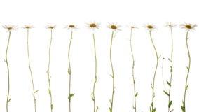 10 чувствительных маргариток на белой предпосылке Стоковое Фото