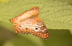 Чудесная картина на крылах бабочки ферзя Стоковое Изображение