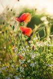 Чудесное маковое семеня в поле на восходе солнца Стоковые Изображения RF