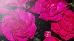 Чудесный дизайн красивых розовых роз стоковые фото