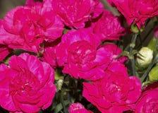 Чудесный дизайн красивых розовых роз стоковое изображение rf