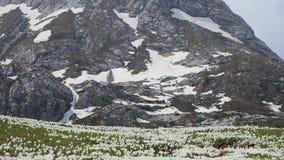Чудесный комплект крокуса цветет на высокогорном луге Цветение крокуса Цветки горы На заднем плане Альпы видеоматериал