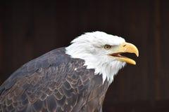 Чудесный портрет величественного американского белоголового орлана Стоковые Фото