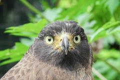 Чужеземец сокола или конец-вверх орла Стоковая Фотография