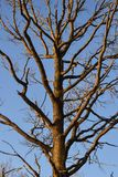 Чуть-чуть ветви дерева Ветви без листьев против голубого неба Стоковое Изображение