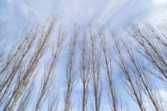 Чуть-чуть ветви тополя против голубого неба стоковые изображения