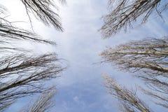 Чуть-чуть ветви тополя против голубого неба стоковые фотографии rf
