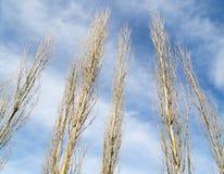 Чуть-чуть ветви тополя против голубого неба стоковая фотография rf
