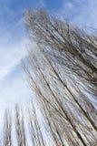 Чуть-чуть ветви тополя против голубого неба стоковые изображения rf