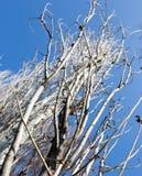 Чуть-чуть ветви тополя против голубого неба стоковое изображение
