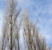 Чуть-чуть ветви тополя против голубого неба стоковые фото