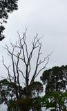 Чуть-чуть дерево среди густолиственных деревьев против пасмурной белой предпосылки неба Стоковое Изображение
