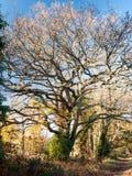 Чуть-чуть осень дуба ветвей никакие люди много ветвей не коричневеют никакие листья Стоковая Фотография