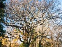 Чуть-чуть осень дуба ветвей никакие люди много ветвей не коричневеют никакие листья Стоковое Фото