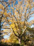 Чуть-чуть осень дуба ветвей никакие люди много ветвей не коричневеют никакие листья Стоковое фото RF