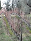 Чуть-чуть поле виноградника в зиме Италия Тоскана Стоковое Изображение RF