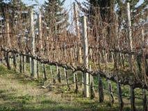 Чуть-чуть поле виноградника в зиме Италия Тоскана Стоковые Изображения