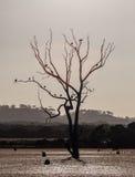 Чуть-чуть дерево в болоте при птицы сидя на ветвях Кенгуру Стоковые Изображения RF