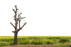Чуть-чуть дерево на зеленом рисе Стоковая Фотография RF