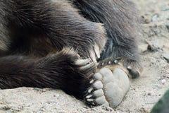 Чуть-чуть, ноги медведя на зоопарке Минесоты Стоковые Фотографии RF